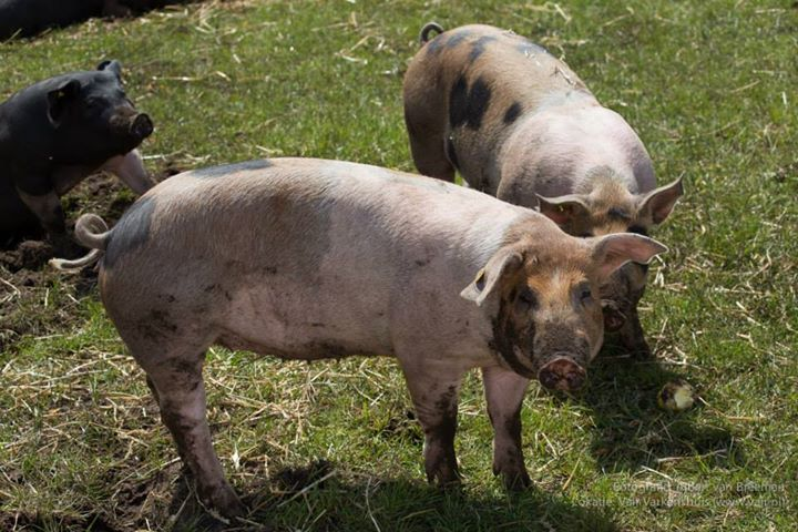 In beeld: duurzaam varkens houden, het kan!
