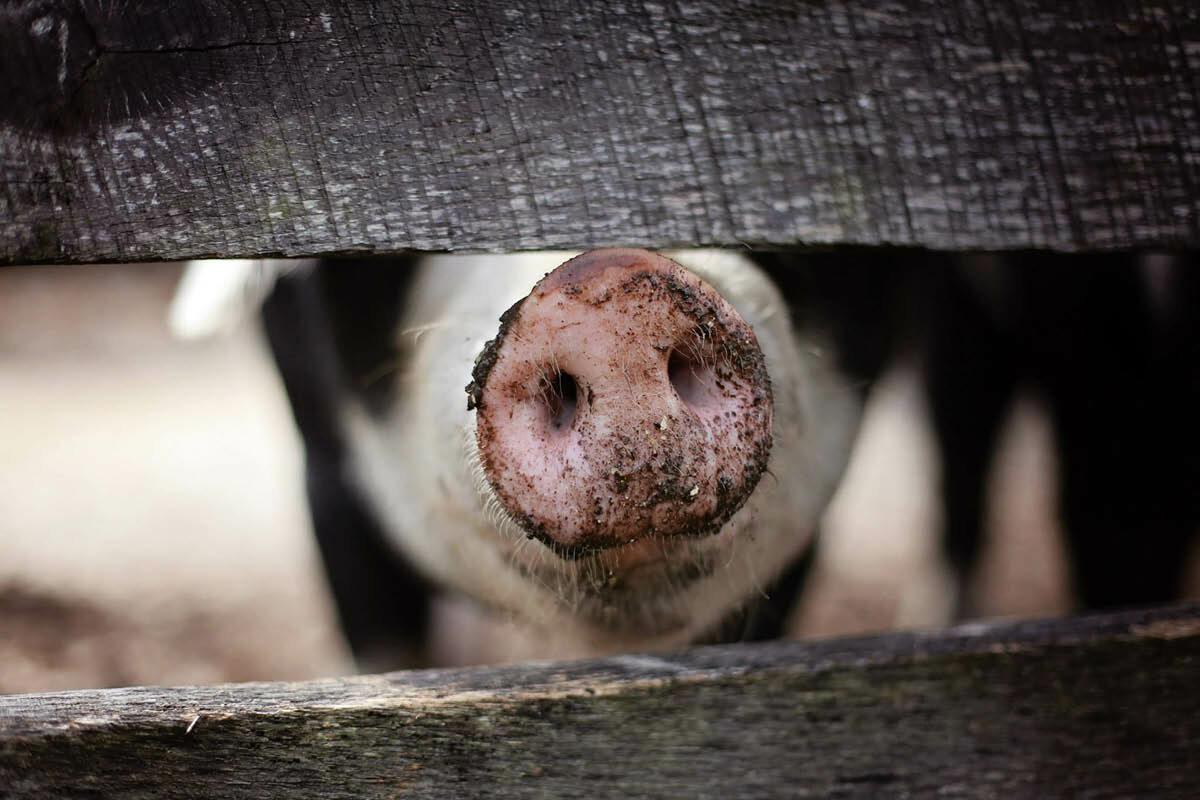 Stankoverlast: behandel veehouderijen hetzelfde als andere industrieën